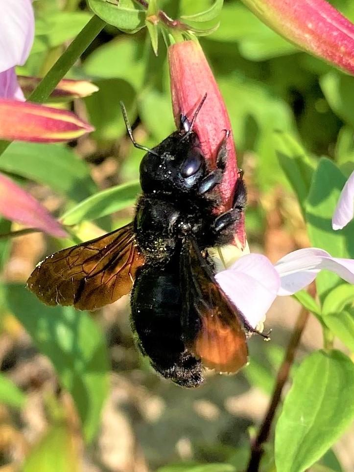Schwarze Holzbiene