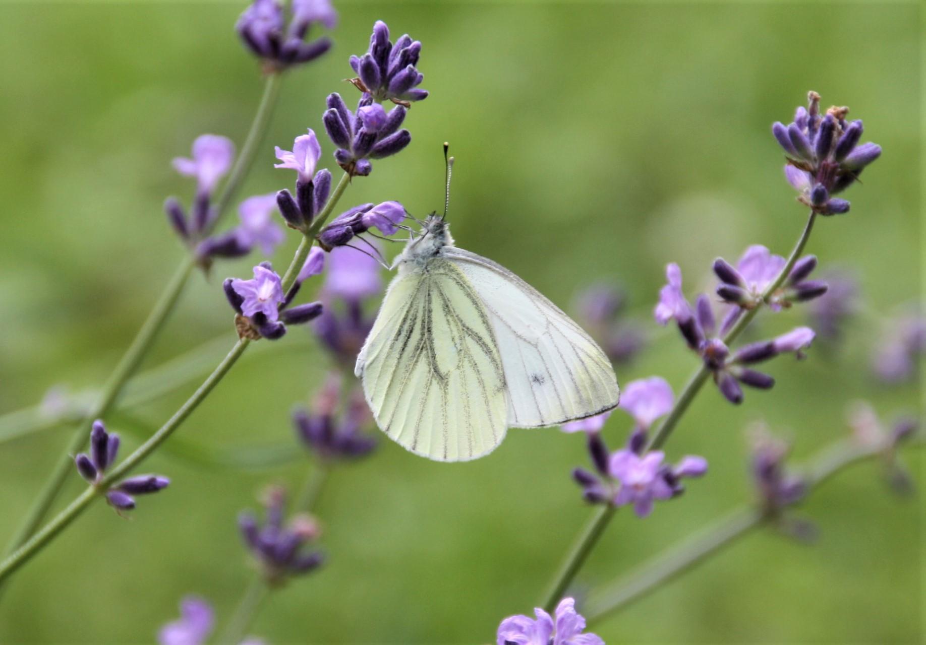 Rapsweißling an Lavendel