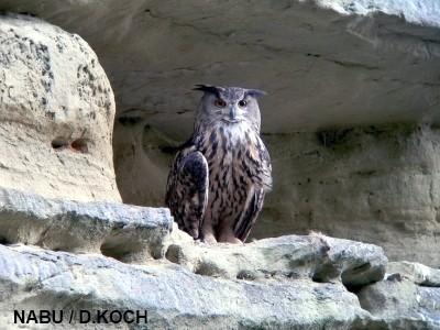 Uhu Altvogel 2010 im Stadtgraben Überlingen