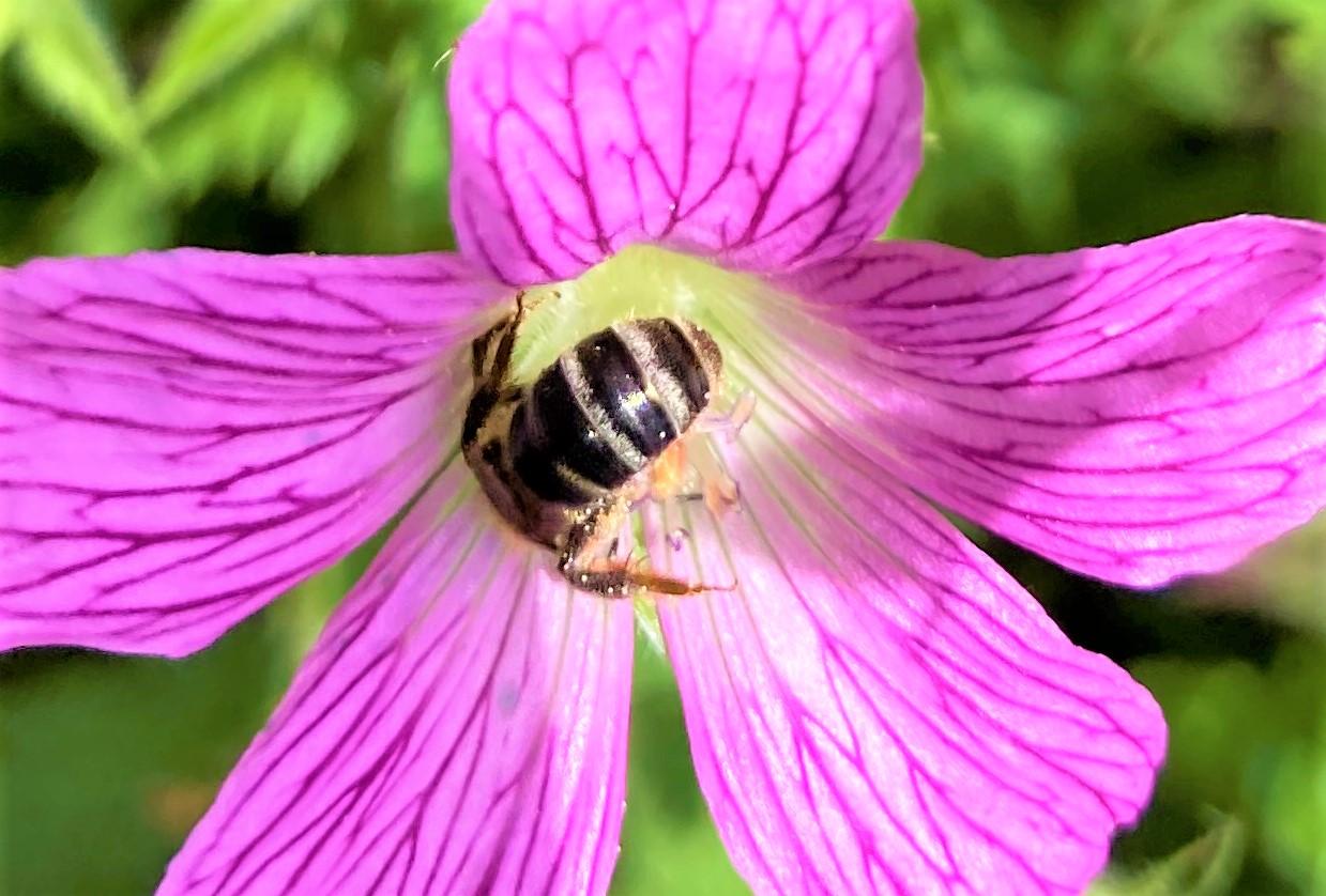 """Honigbiene """"taucht"""" in Storchschnabelblüte"""