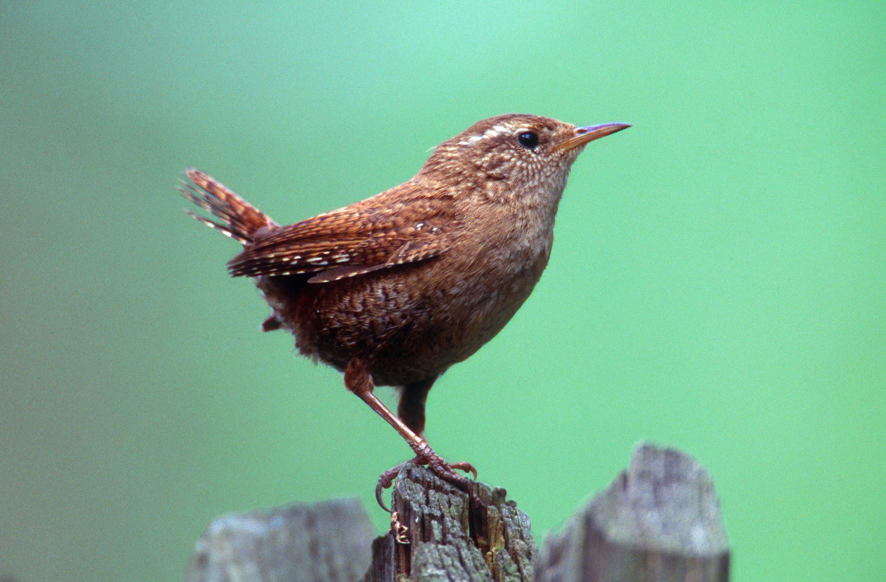 War Vogel des Jahres 2004: der kleine Zaunkönig. Foto: Nabu-Archiv