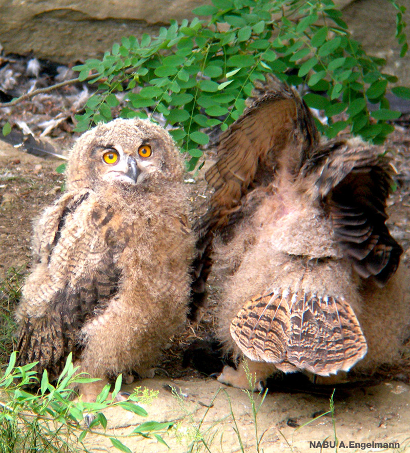 Zwei Uhu Jungvögel 2012 im Überlinger Stadtgraben