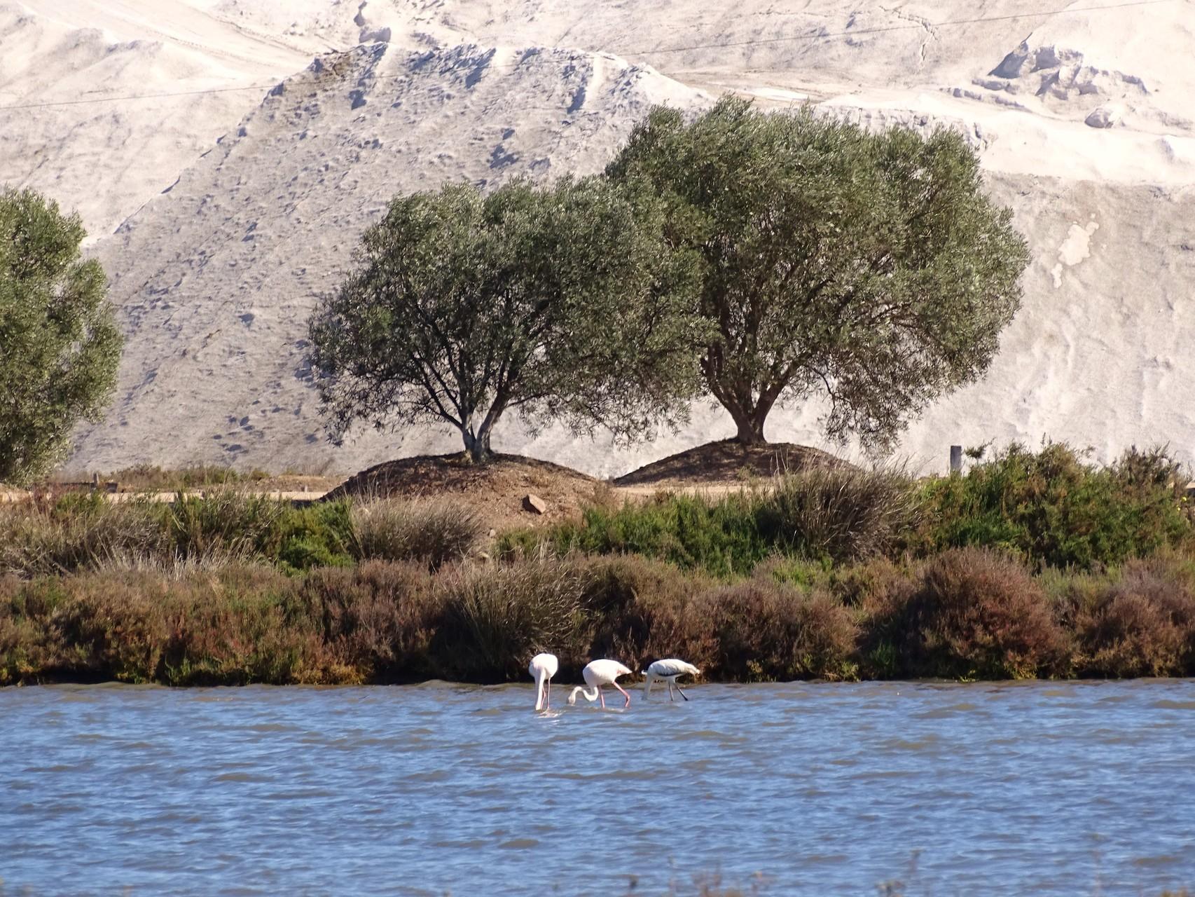 Flamingos im reserva natural von Castro Marim