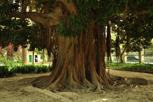 Tronco de la Higuera de Bahía Moreton (Ficus macrophylla). La circunferencia del árbol medida a un tamaño de 1,30 m es 7,55 m