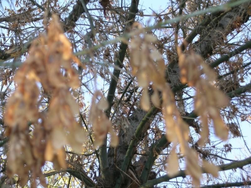 """Se llaman """"árboles helicopteros"""" por sus semillas"""
