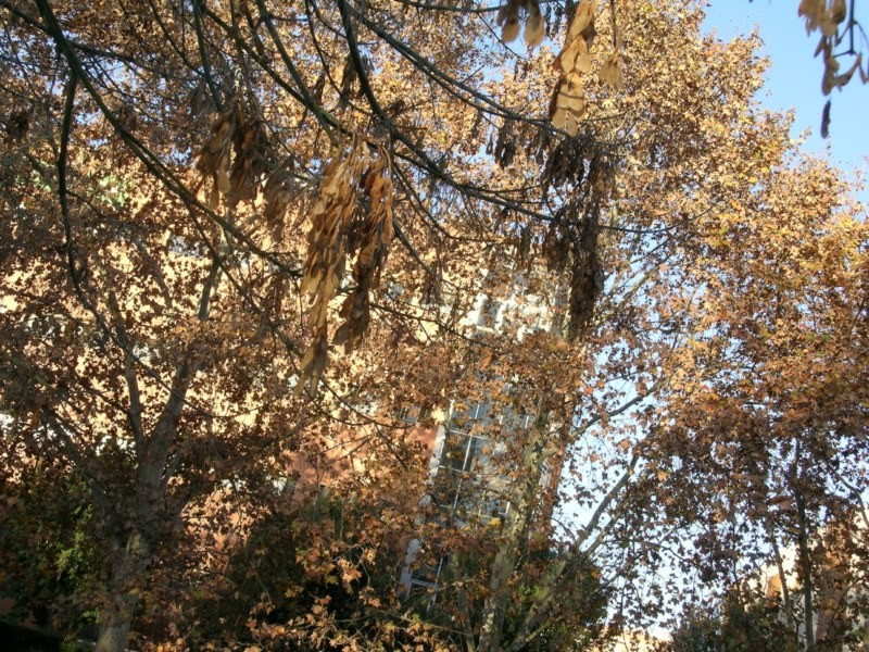 Las disamaras permanecen en las ramas