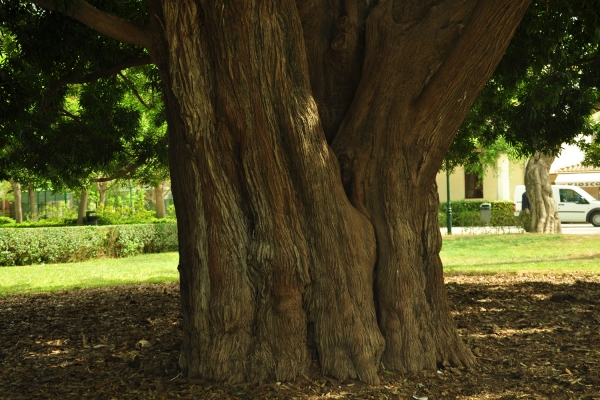 Tronco del Arból kusamaki (Podocarpus macrophyllus). Circunferencia 4,56 m @ 1,30 m