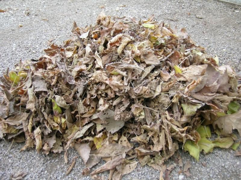 Los arces pierden sus hojas