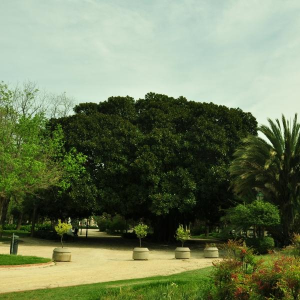 Higuera de Bahía Moreton (Ficus macrophylla). Altura 16,10 m