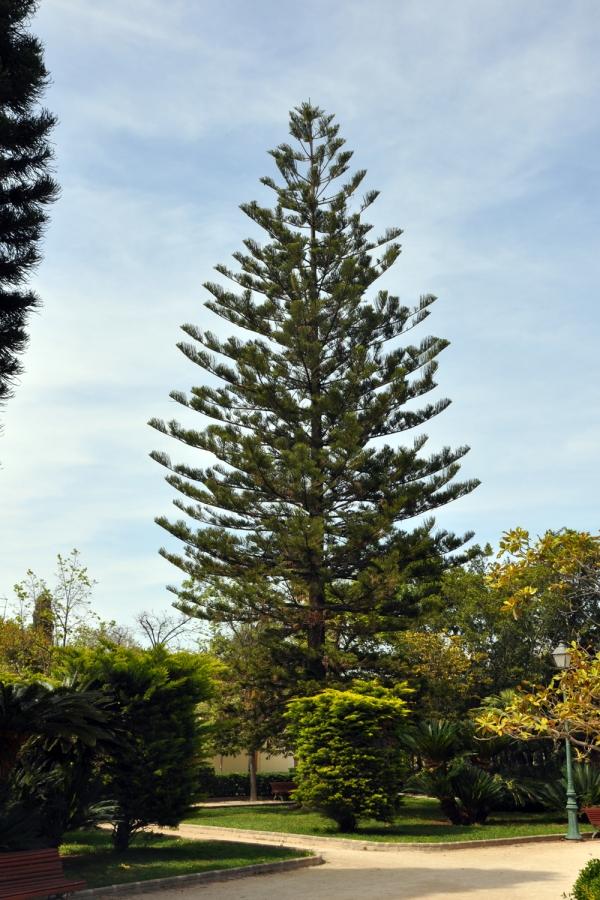 Araucaria excelsa (Araucaria heterophylla). Altura 24,60