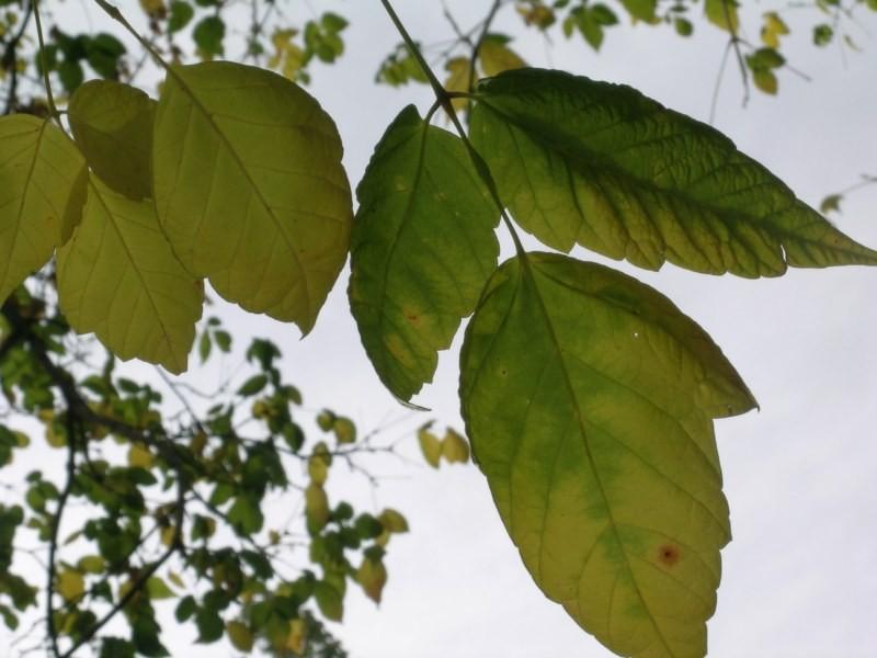 Primer plano de las hojas del arce
