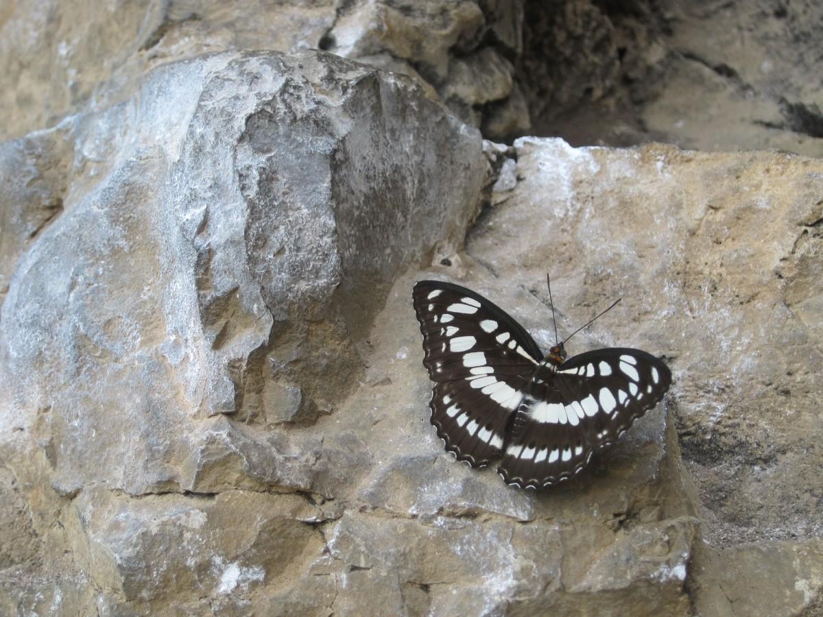 climbing butterfly.