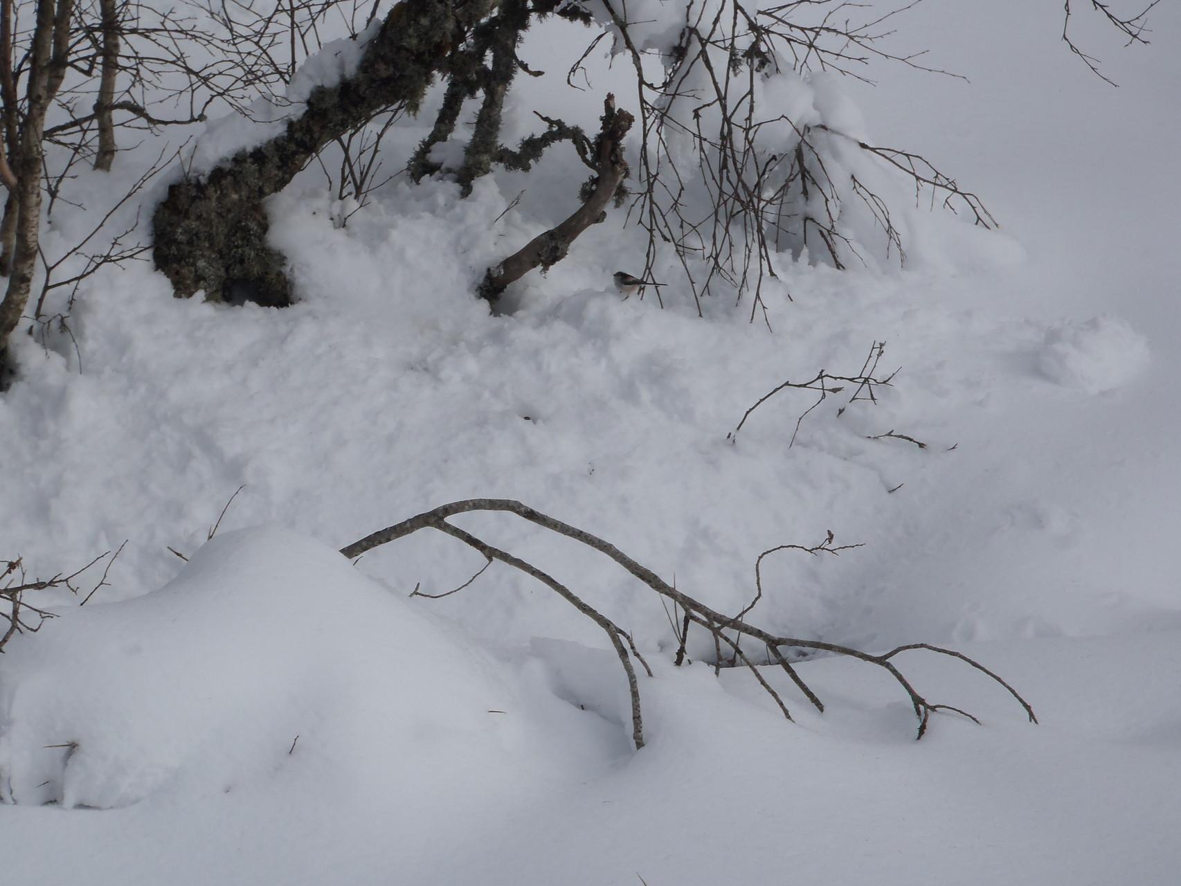 Une mésange à longue queue