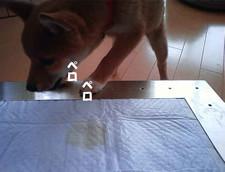 柴犬のチップちゃんと犬用ステンレス製トイレ・トレイ