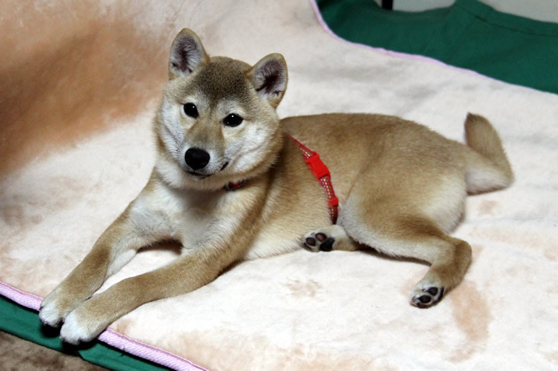 柴犬のナナちゃん 生後6ヶ月です。