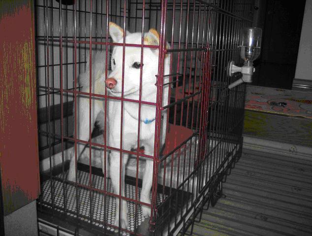豆柴のシロちゃんと犬用ステンレス製トイレ・トレイ