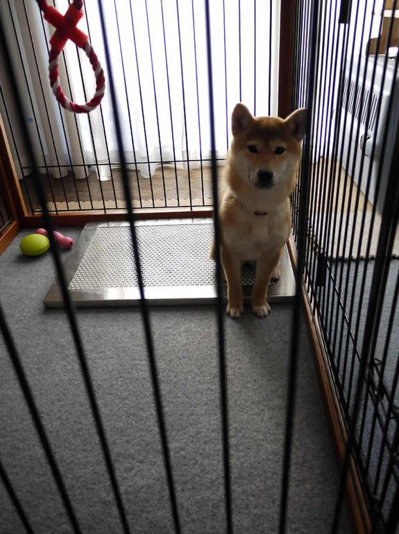 柴犬のナナちゃん 犬用ステンレス製トイレ・トレイと撮影