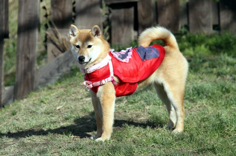 柴犬のナナちゃん 赤い服がよく似合います。