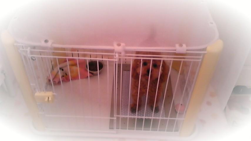 トイプードルのティアラちゃんと犬用ステンレス製トイレ・トレイ