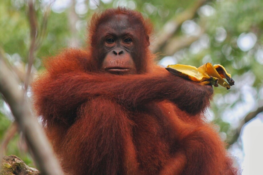 Orang Utans im Semenggoh Wildlife Center