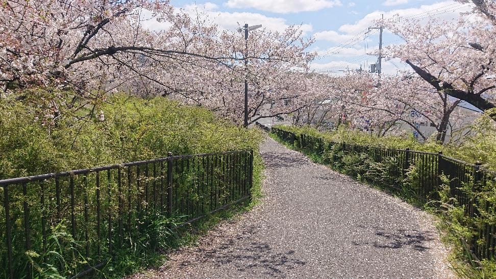 遊歩道は桜の花びらじゅうたん