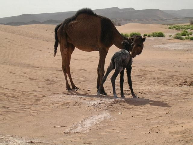 Dromedar mit Babay