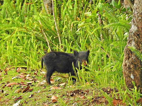 Wildschweinfrischling Mauritius