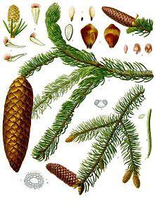 Baume Als Nahrungsmittel Und Heilmittel Naturwelt Menschenrechte