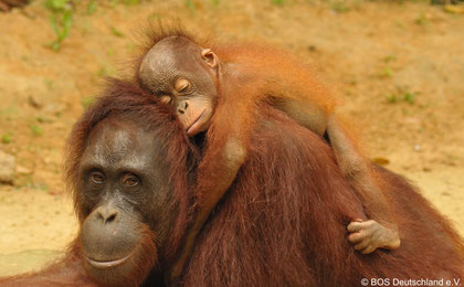 Orang Utan Mutter mit Kind
