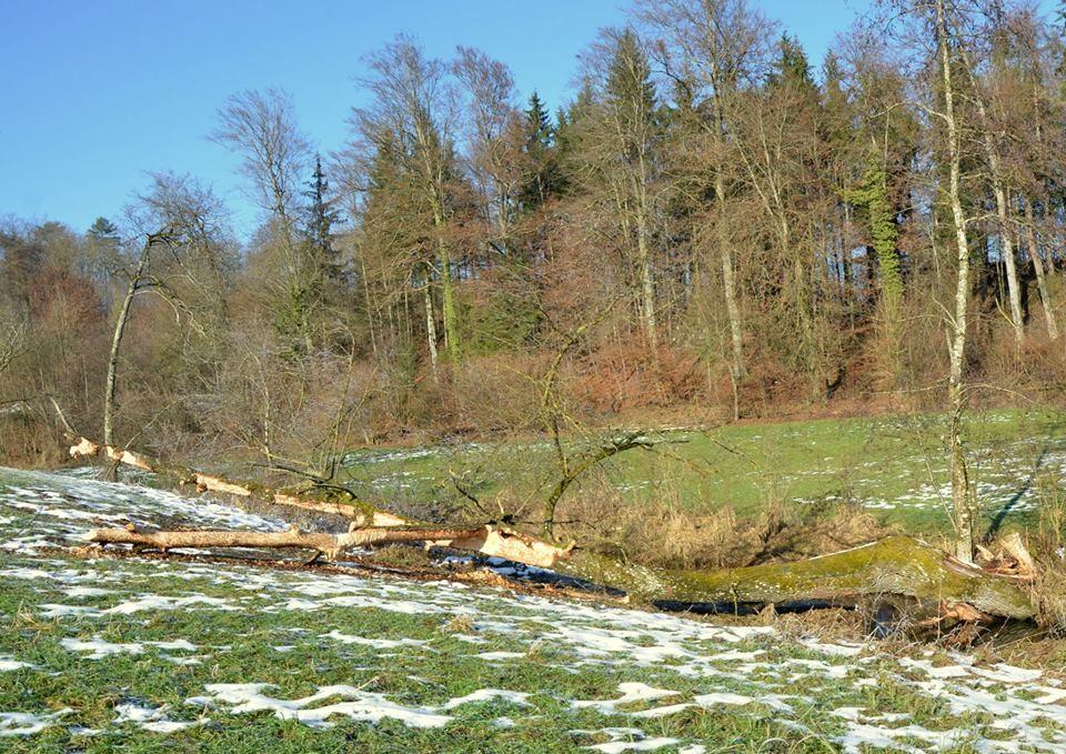 Selbst umgestürzte Weide die nun vom Biber zerlegt wird.