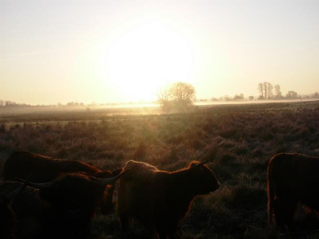 Rinder im Morgendunst