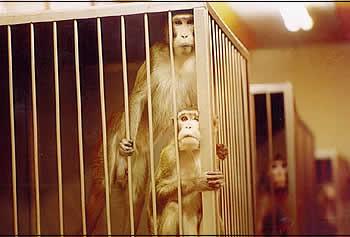 Affen im Labor: Allein schon die Haltungsbedingungen in völlig strukturlosen Käfigen ist für die intelligenten und bewegungsfreudigen Tiere eine Tortur.  Foto: Animal Rights Sweden