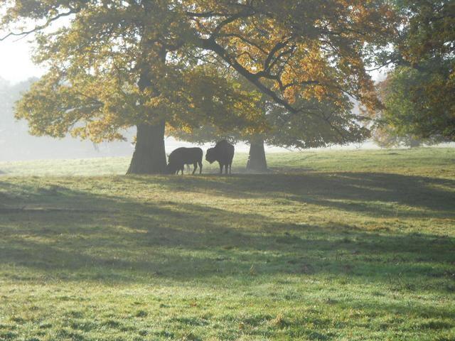 Wisent im Morgendunst Tierpark Sababurg