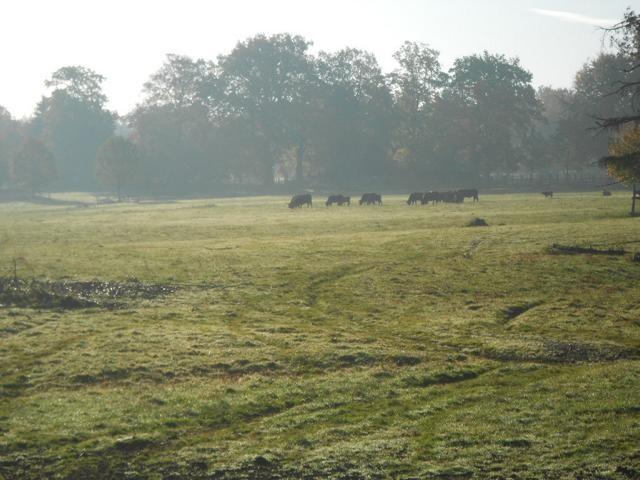 Rinder am Morgen