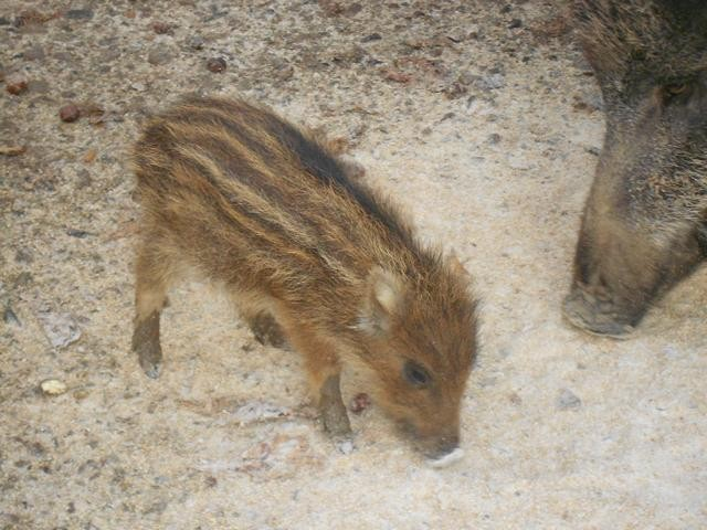 Frischling Tierpark Sababurg