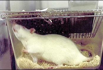 Ratte in einem kleinen Plastikkasten. Foto: Ärzte gegen Tierversuche e.V.