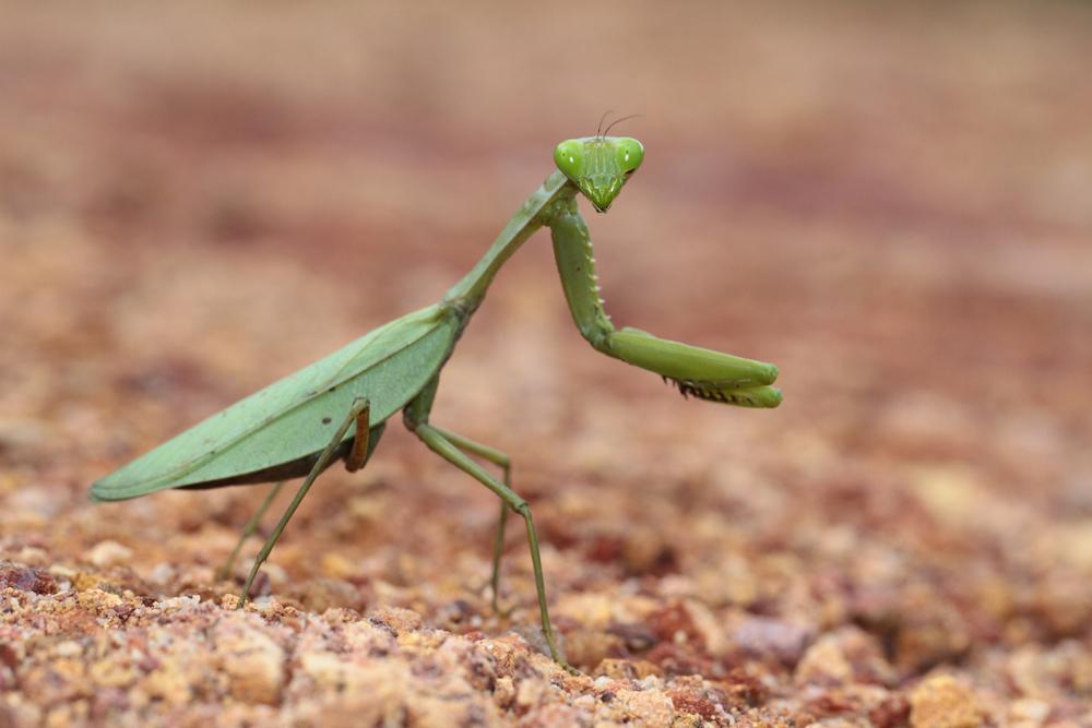 Indische Riesenmantis, Giant Asian Mantis (Hierodula membranacea) / Sinharaja