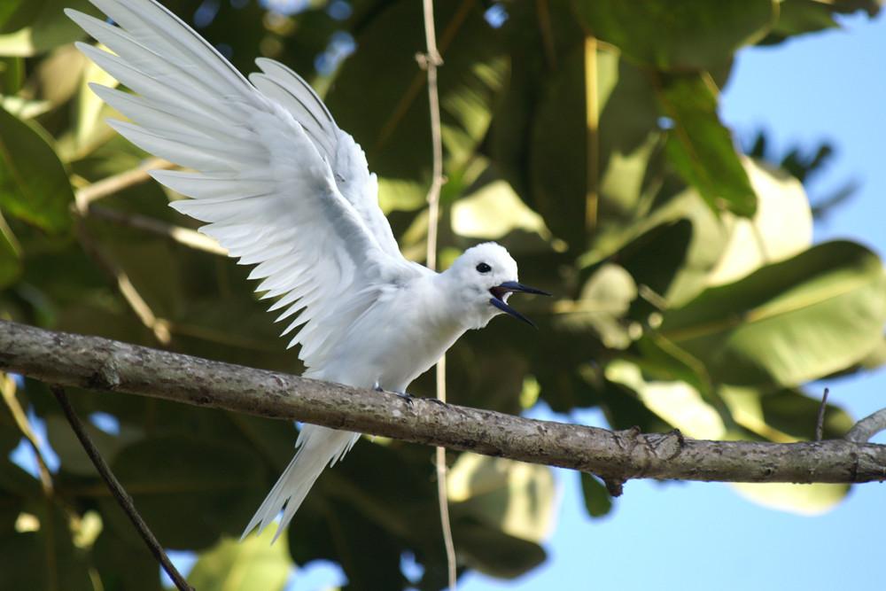 Feenseeschwalbe, Fairy Tern (Gygis alba) / La Digue