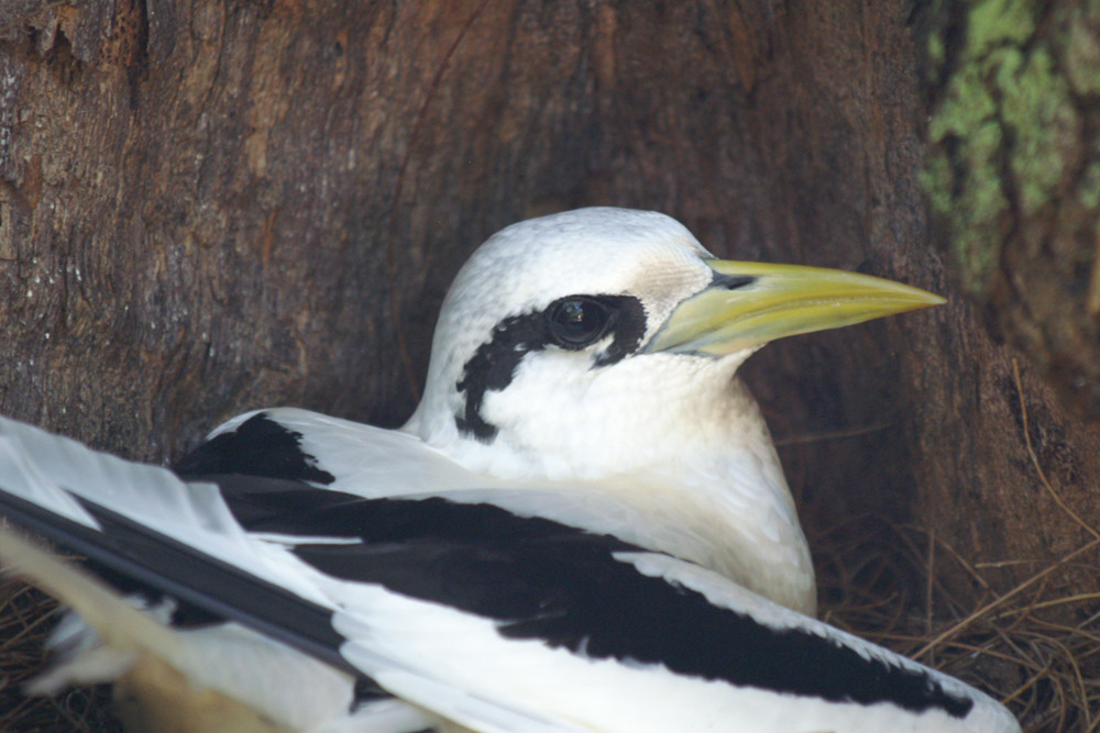 Weißschwanz-Tropikvogel, White-tailed Tropicbird (Phaethon lepturus) / Cousin