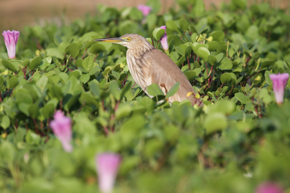 Paddyreiher, Indian Pond Heron (Ardeola grayii) / Negombo