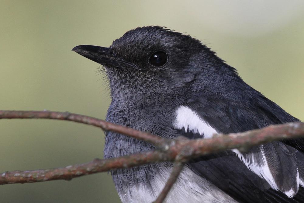 Dajaldrossel, Oriental Magpie Robin (Copsychus saularis) / Nuwara Eliya