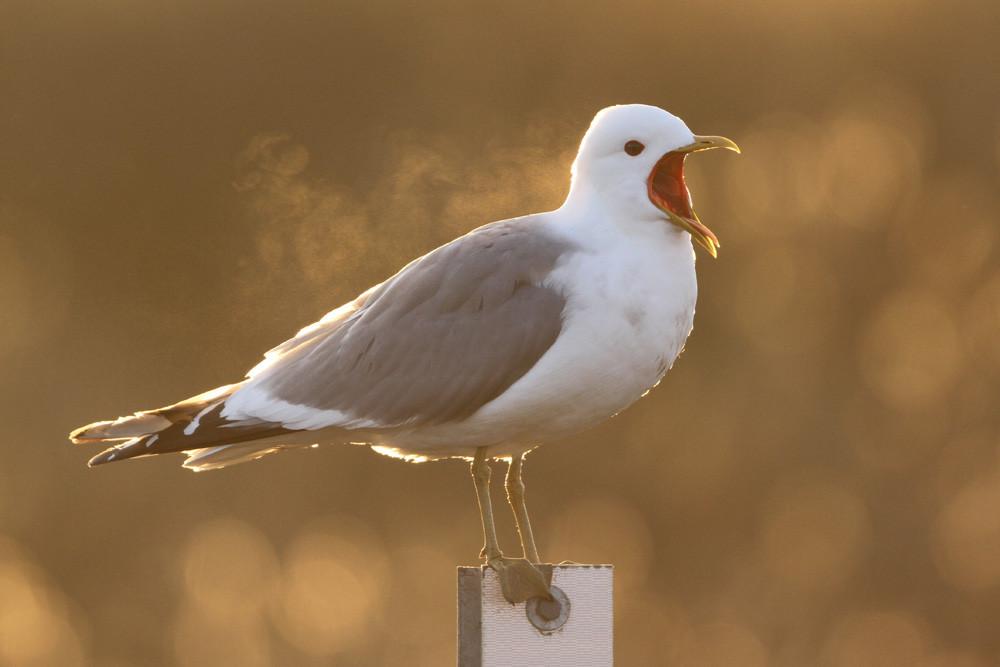 Sturmmöwe, Mew Gull (Larus canus)