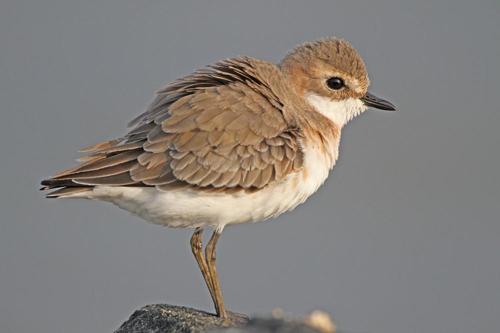 Mongolenregenpfeifer, Lesser Sand Plover (Charadrius mongolus) / Negombo