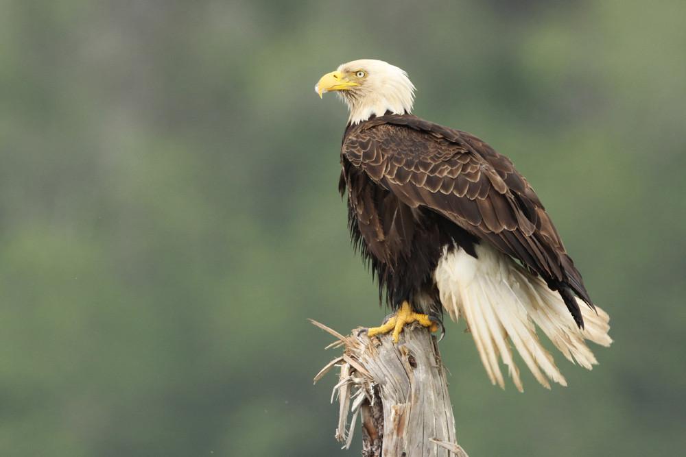 Weisskopfseeadler, Bald Eagle (Haliaeetus leucocephalus)