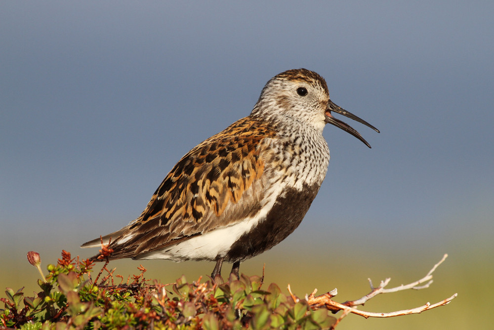 Alpenstrandläufer, Dunlin (Calidris alpina)
