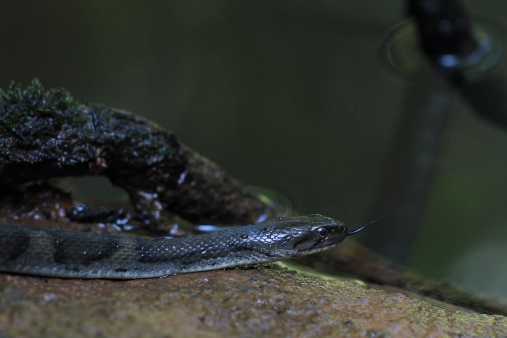 Sri Lanka Kielrücken Wasserschlange, Sri Lanka Keelbacked Water Snake (Xenochrophis asperrimus) / Sinharaja - Foto von Livia Haag