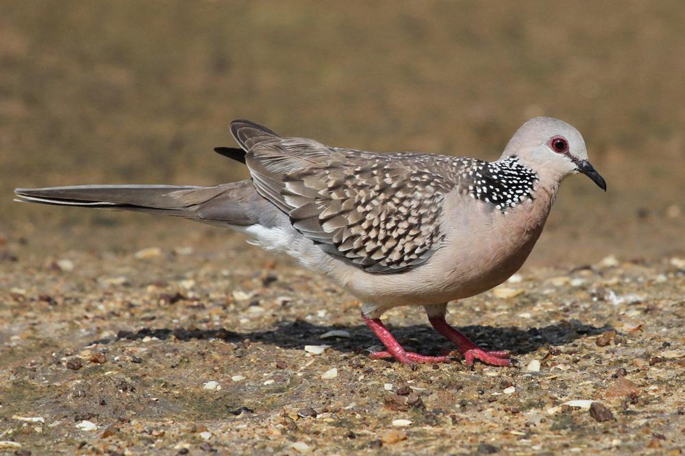 Perlhalstaube, Spotted Dove (Spilopelia chinensis) / Kalametiya