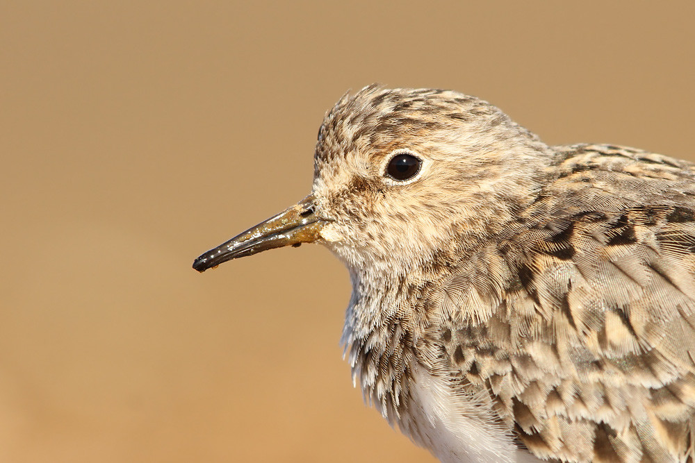 Temminckstrandläufer, Temminck's Stint (Calidris temminckii)