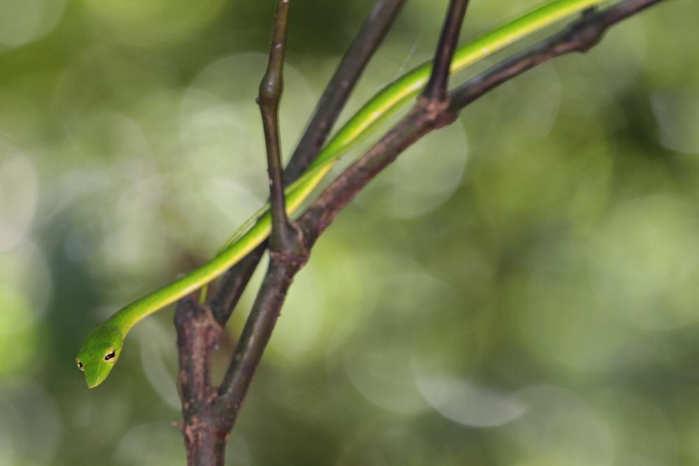 Nasen-Peitschennatter, Green Vine Snake (Oxybelis fulgidus) / Kitulgala - Foto von Livia Haag