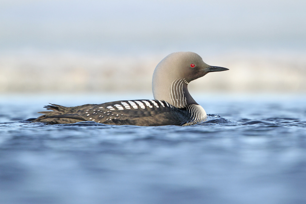 Pazifiktaucher, Pacific Loon or Pacific Diver (Gavia pacifica)